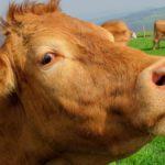 Close-up photo of an unhappy cow